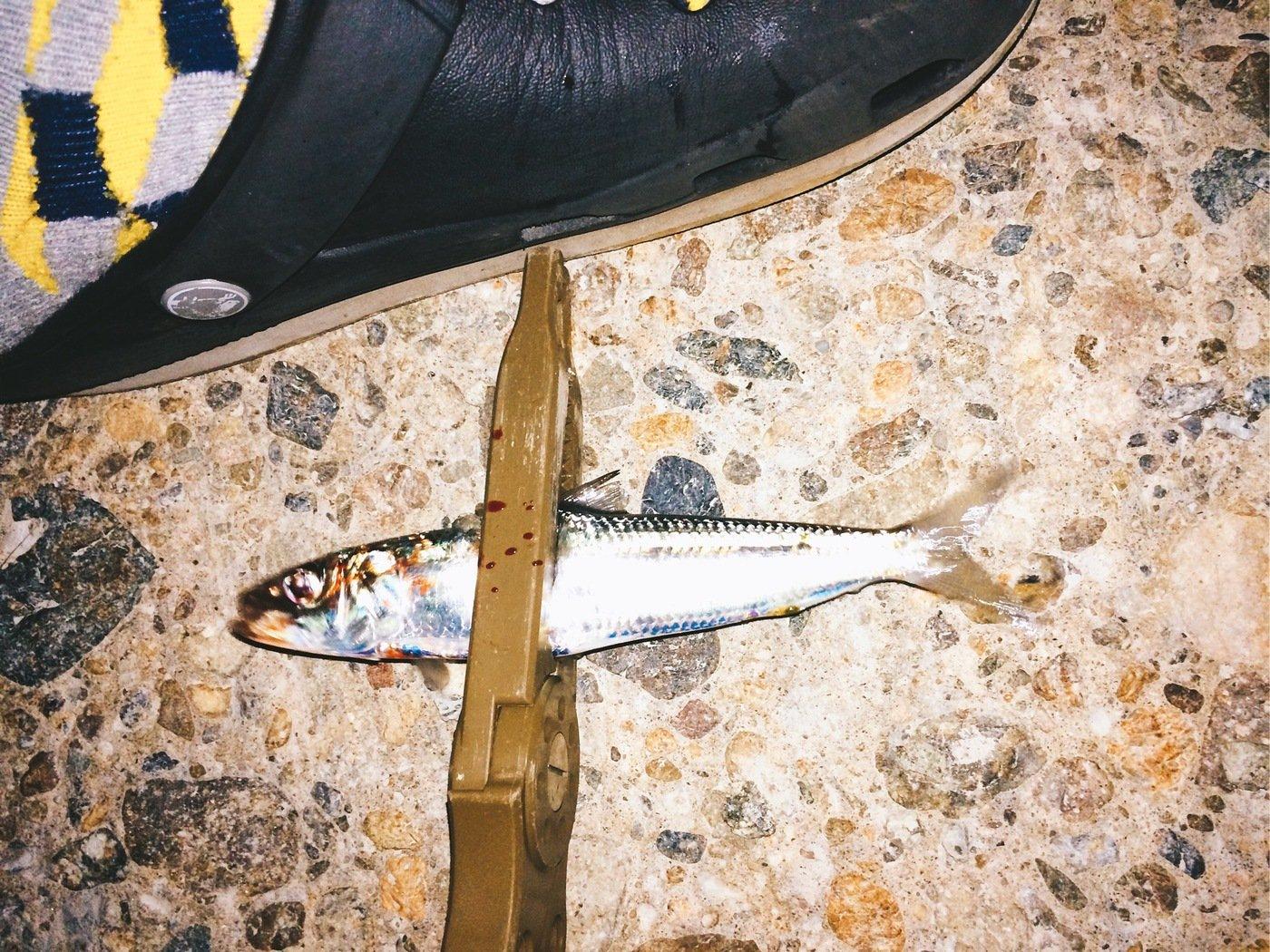 Light®️iggerさんの投稿画像,写っている魚はウルメイワシ