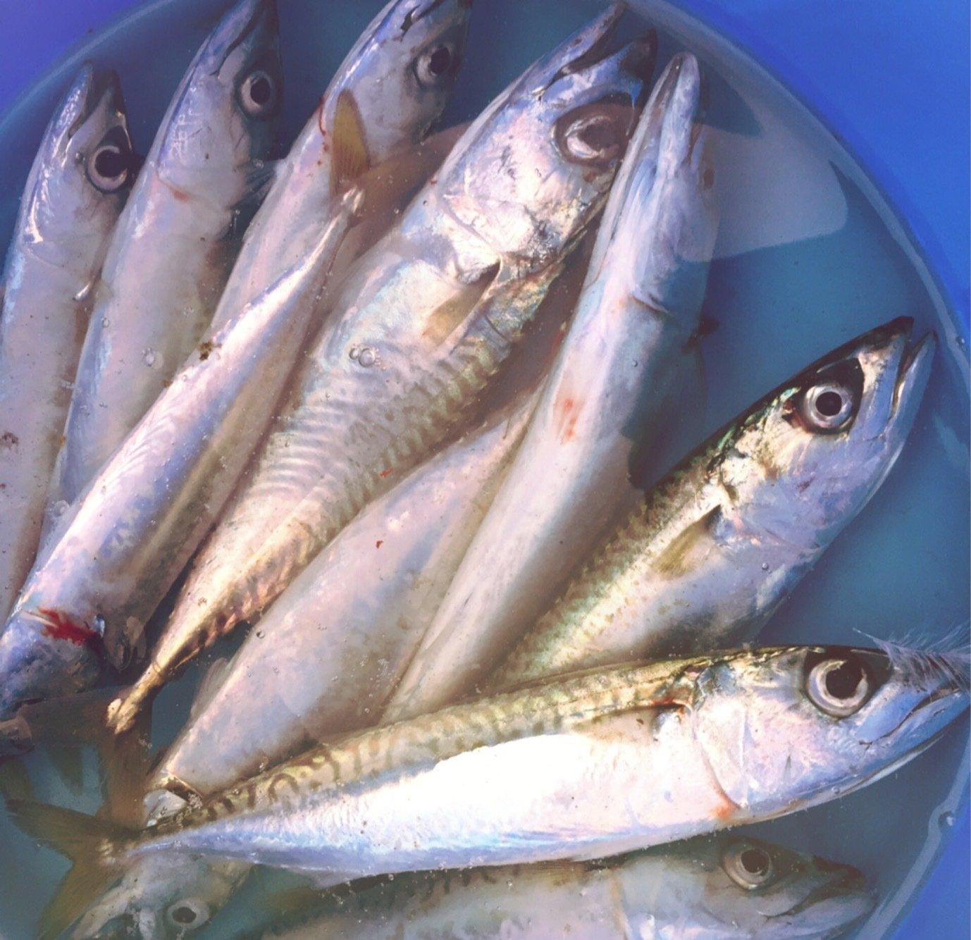 Nattu♡♡さんの投稿画像,写っている魚はマサバ