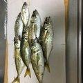 橘鏡華@チーム☆へっぽこさんの神奈川県でのアジの釣果写真