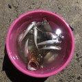 ながちゃんぽんさんの福岡県糸島市でのシロギスの釣果写真