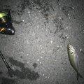 小遣い制アナゴさんさんの神奈川県横須賀市でのメバルの釣果写真