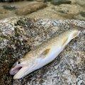 きーくんさんの新潟県岩船郡での釣果写真