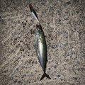 シュウさんの青森県むつ市での釣果写真
