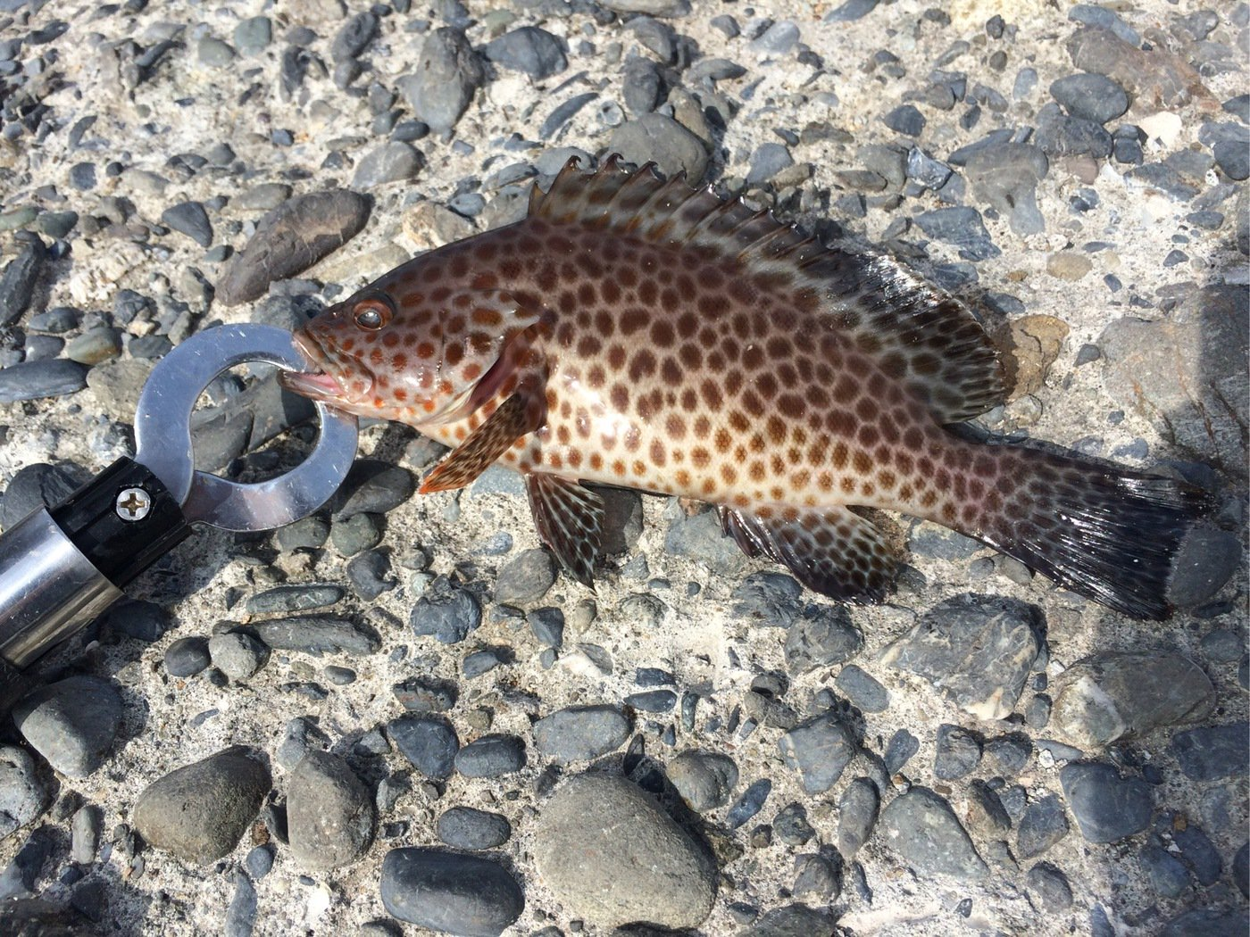 MAXさんの投稿画像,写っている魚はオオモンハタ