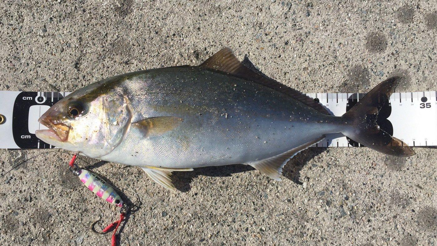 NCMさんの投稿画像,写っている魚はカンパチ