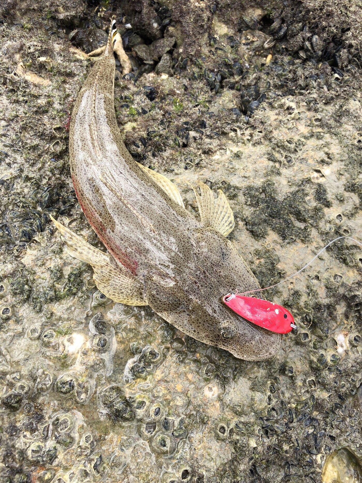 はやとさんの投稿画像,写っている魚はコチ