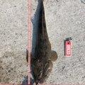 ロック&フラットさんの宮城県名取市でのコチの釣果写真