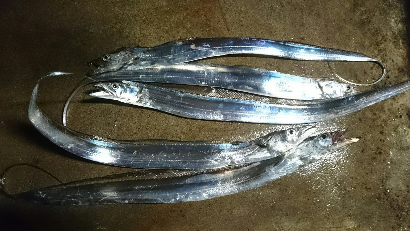 ショックンさんの投稿画像,写っている魚はタチウオ