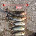 とも0402さんの宮城県石巻市でのアイナメの釣果写真