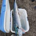ゲ☆チェナさんのサワラの釣果写真