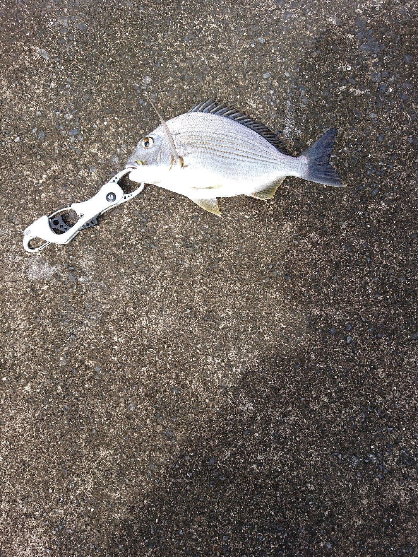 南の黒鯛師さんの投稿画像,写っている魚はヘダイ