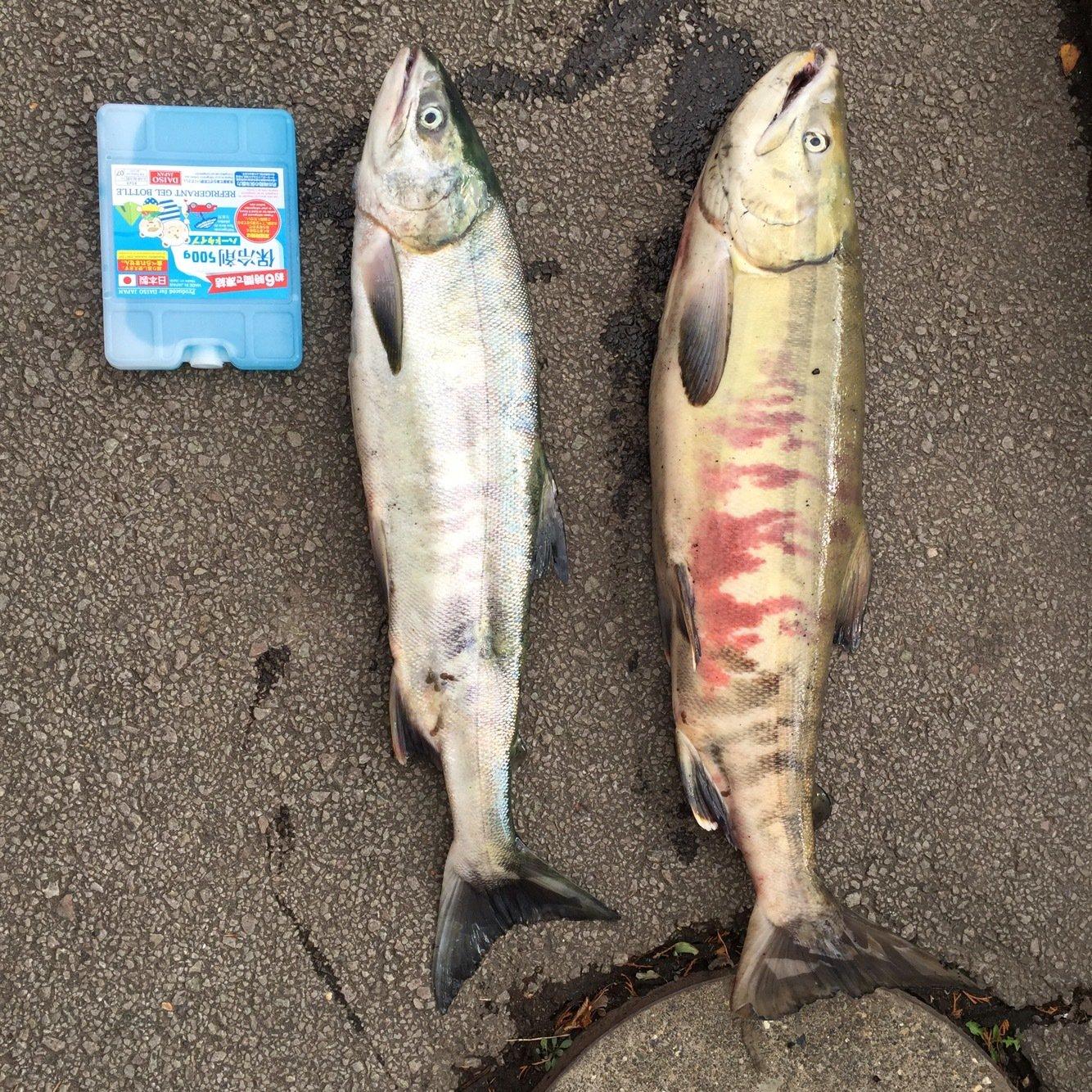 TxxTさんの投稿画像,写っている魚はサケ