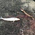 釣りたかこさんの三重県松阪市での釣果写真