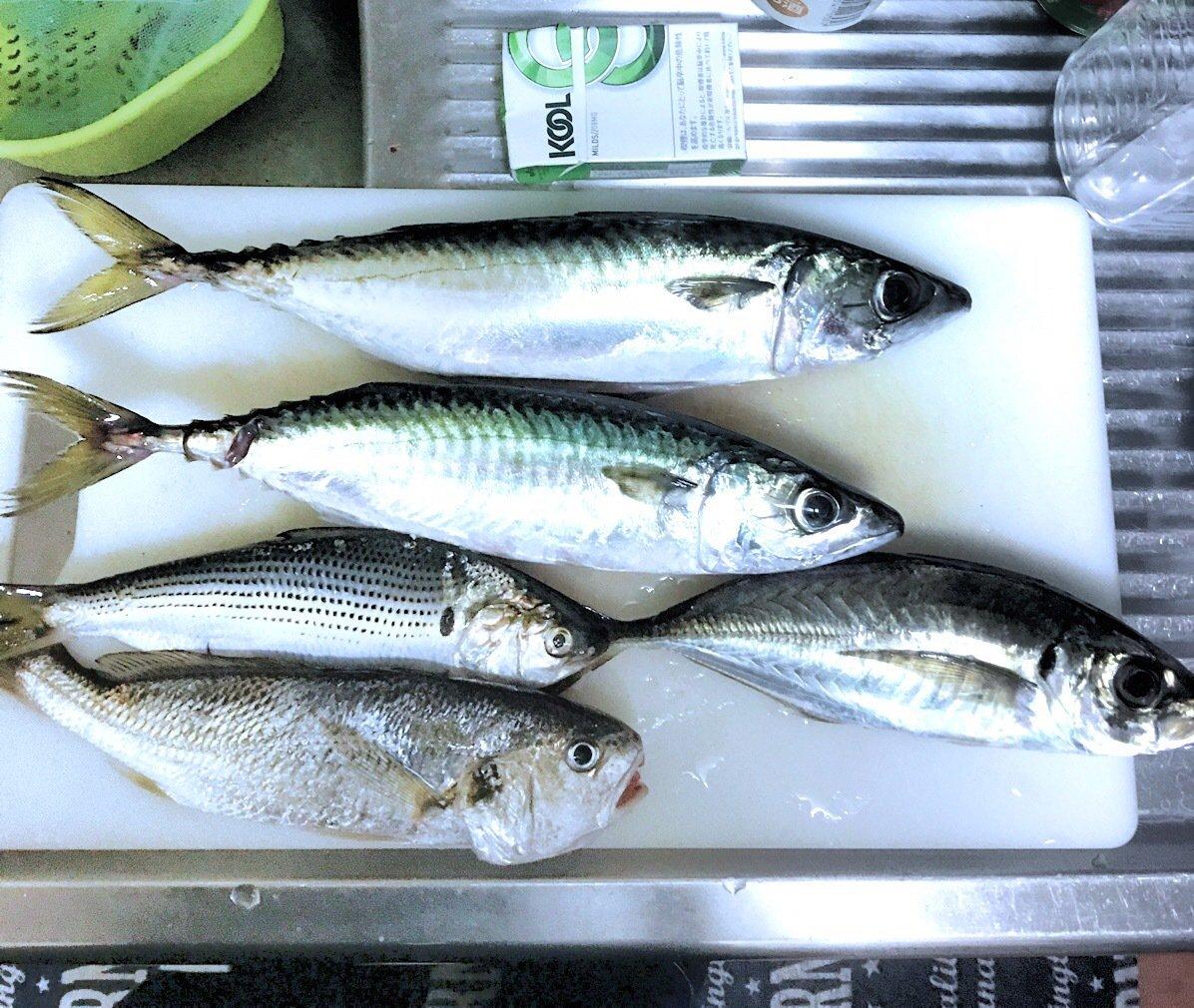 tom男さんの投稿画像,写っている魚はゴマサバ