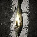 小遣い制アナゴさんさんの神奈川県でのアジの釣果写真