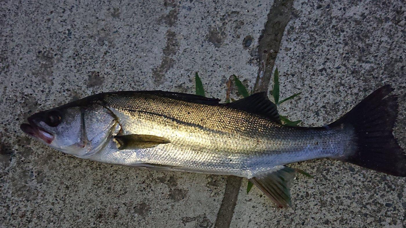 ミドリフグさんの投稿画像,写っている魚はスズキ