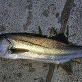 ミドリフグさんの宮城県気仙沼市での釣果写真