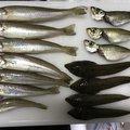 ほりしむさんの新潟県でのシロギスの釣果写真