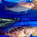 Afさんのイトヨリダイの釣果写真