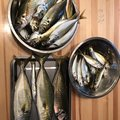 こしさんの千葉県富津市での釣果写真