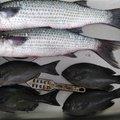 釣り吉さんの高知県土佐清水市での釣果写真
