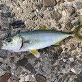 うんすいさんの兵庫県南あわじ市での釣果写真