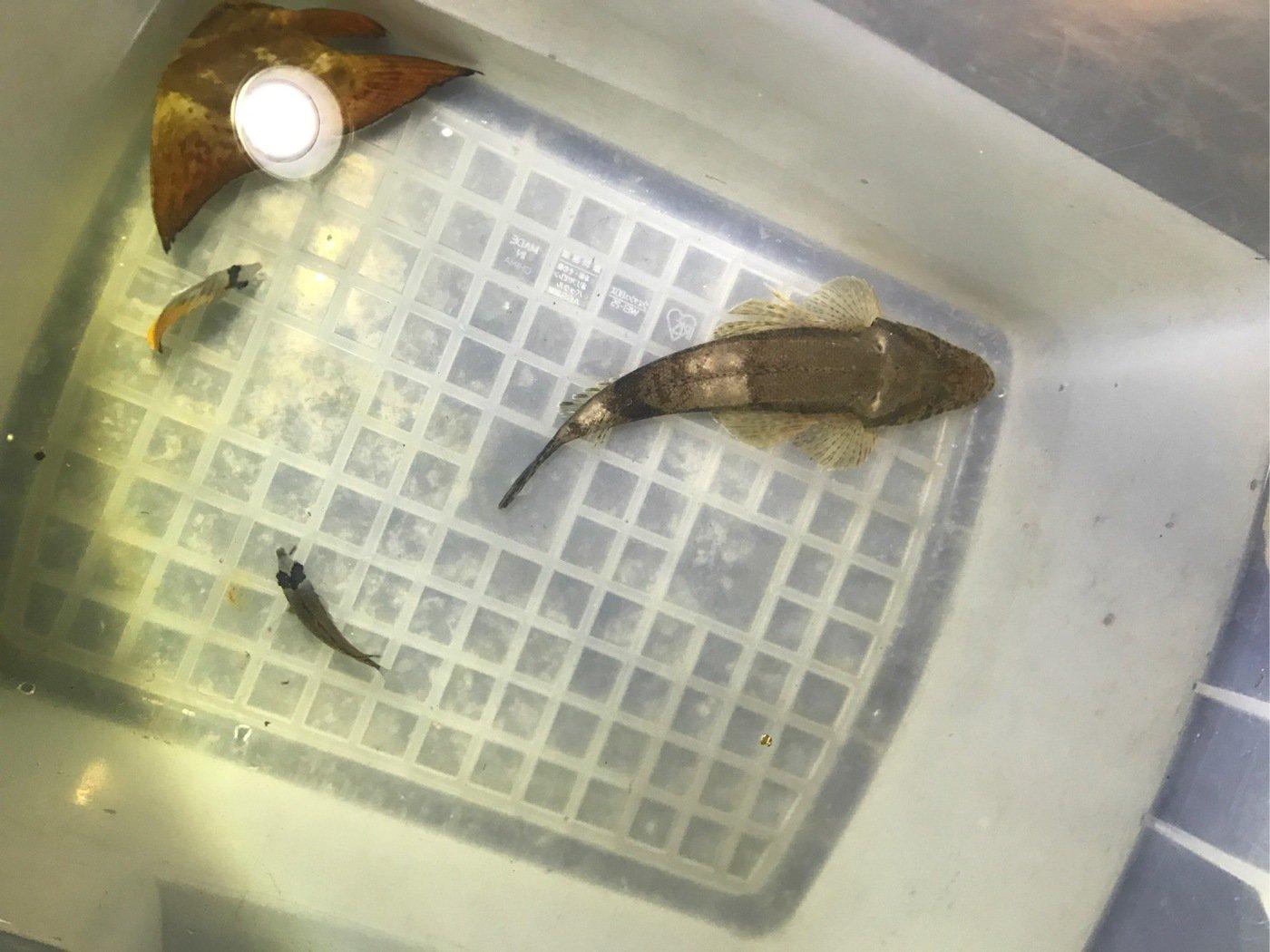 馬並剛さんの投稿画像,写っている魚はイネゴチ