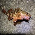 うんすいさんの兵庫県南あわじ市でのカサゴの釣果写真