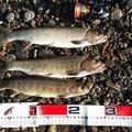 GKもときっくす さんの岐阜県での釣果写真