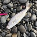 しょうざんさんの静岡県焼津市での釣果写真