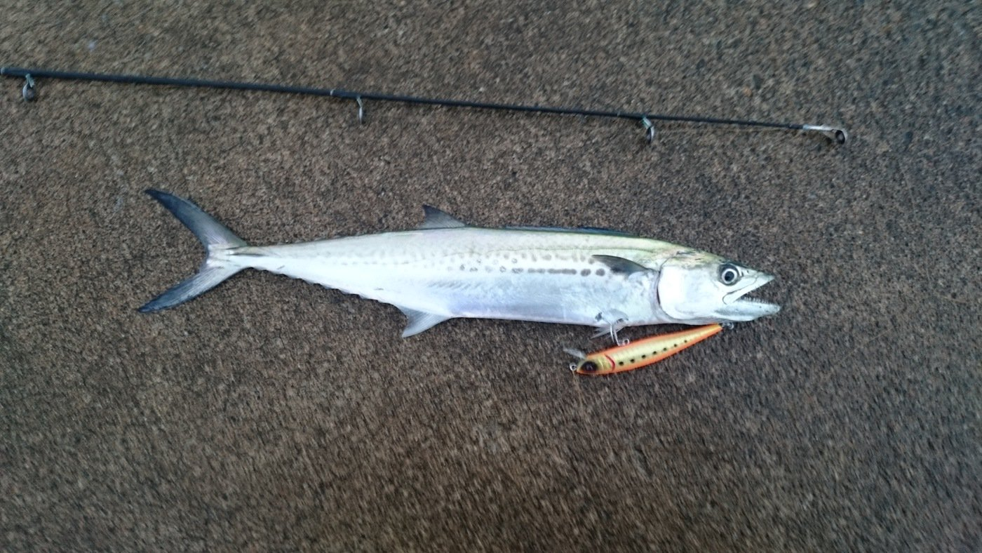 ふみとさんの投稿画像,写っている魚はサワラ