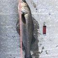 ダイゴローさんの山形県での釣果写真