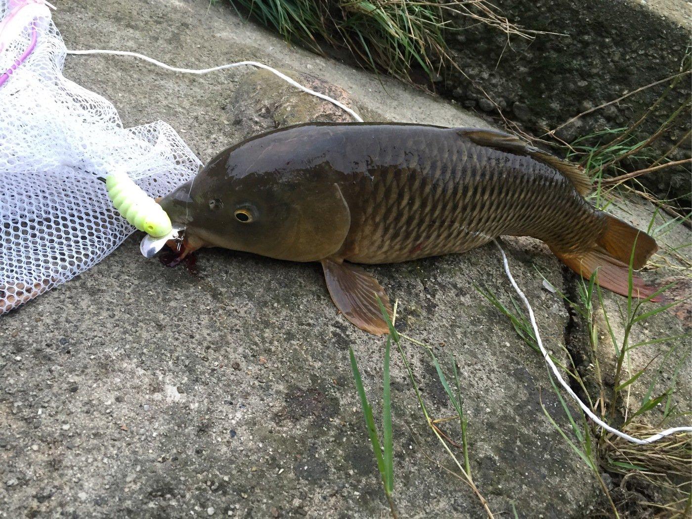 ホムラさんの投稿画像,写っている魚はコイ