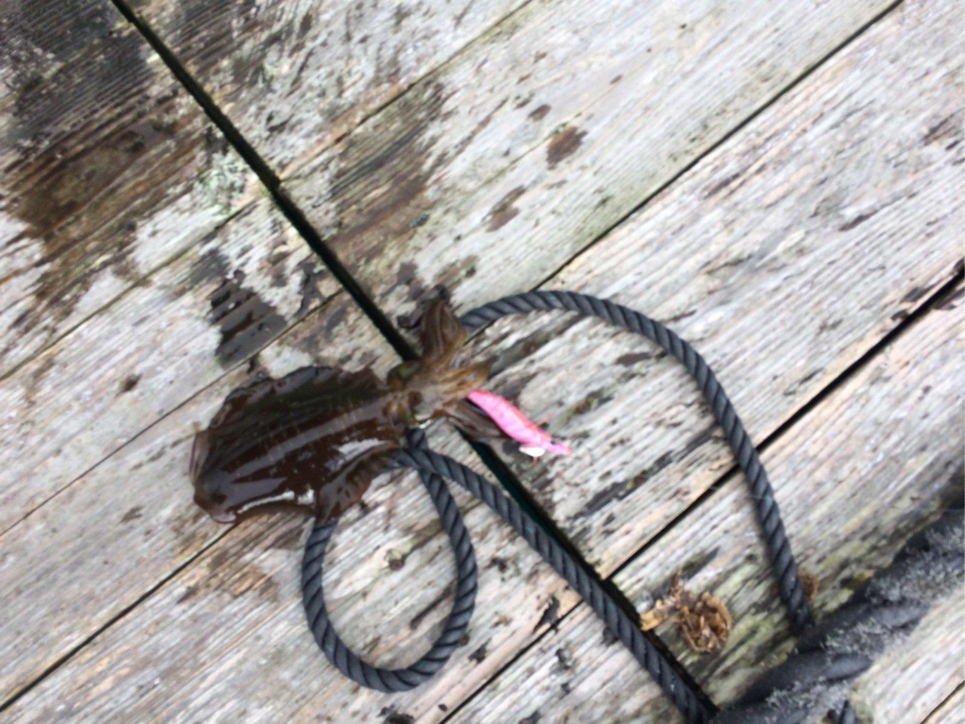 ポーさんの投稿画像,写っている魚はアオリイカ