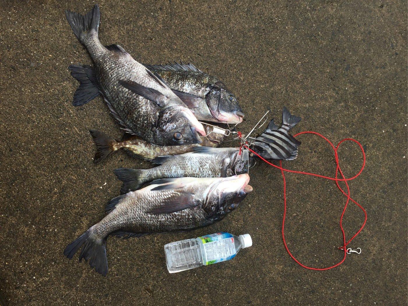 なめこさんの投稿画像,写っている魚はクロダイ