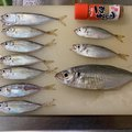 なべさんの徳島県鳴門市での釣果写真