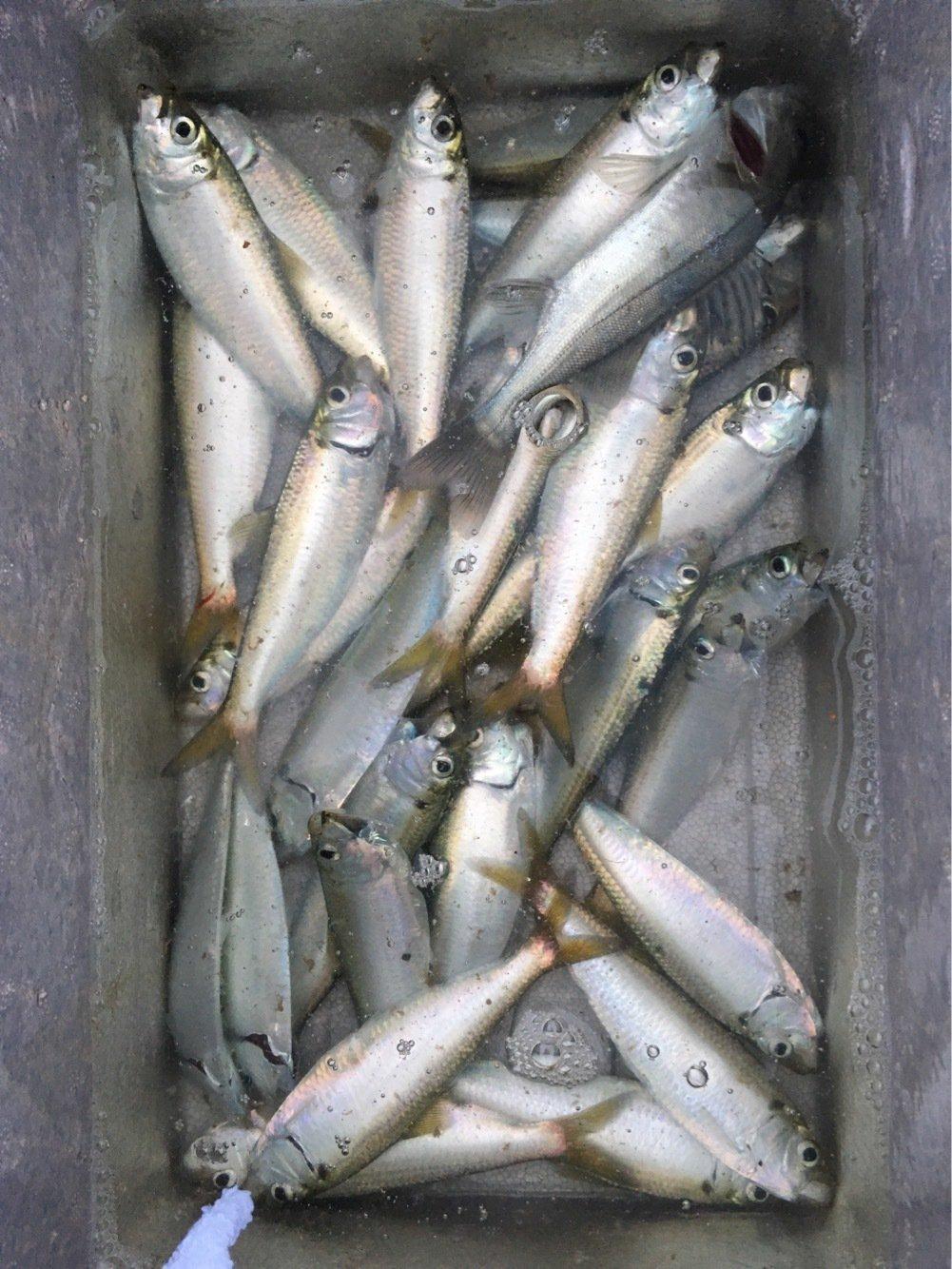 よしさんの投稿画像,写っている魚はサッパ