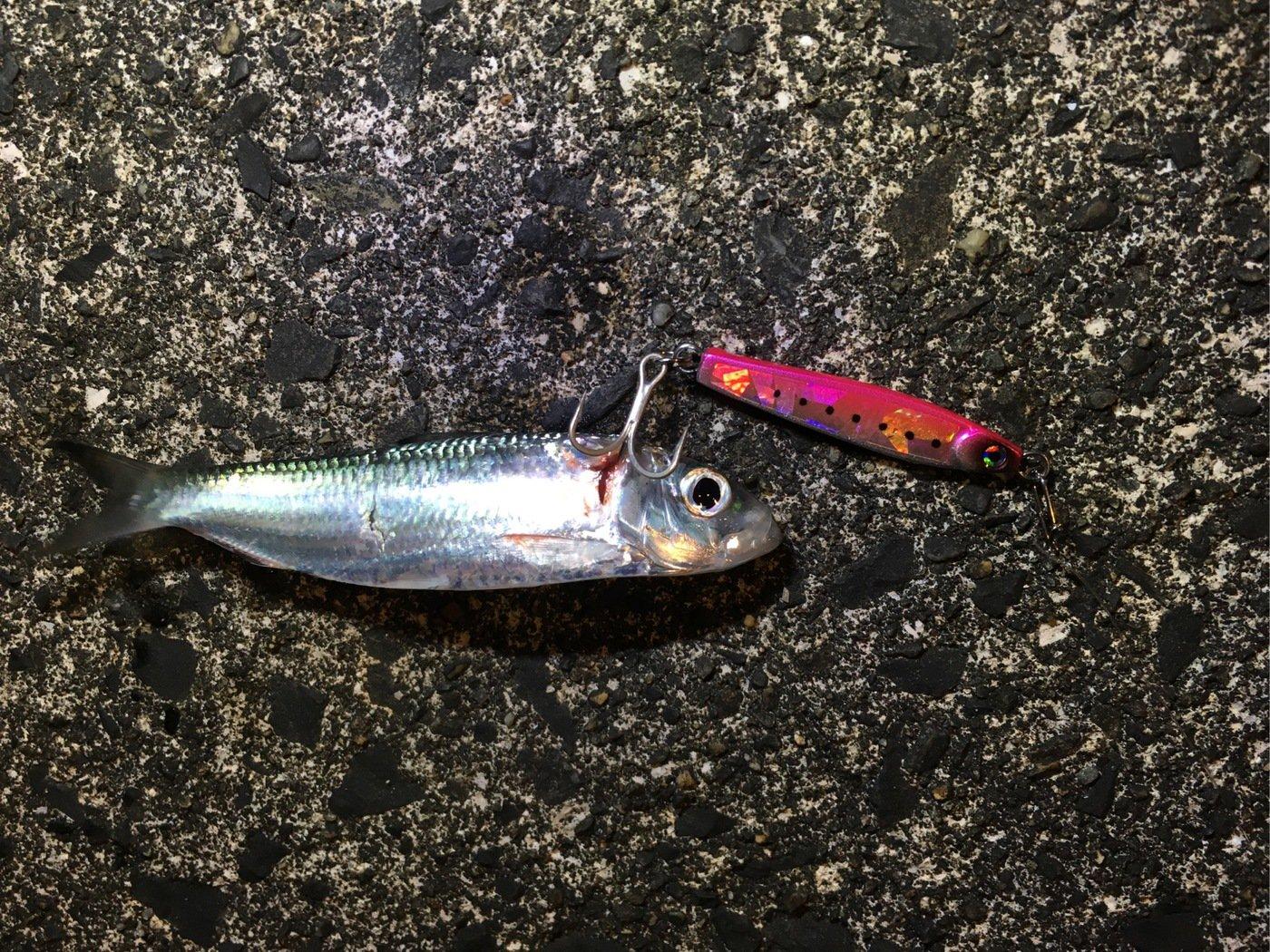 大五郎さんの投稿画像,写っている魚はカタクチイワシ