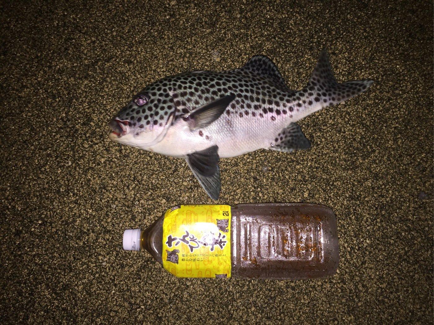 ルアー男さんの投稿画像,写っている魚はコロダイ