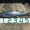 ysyk0905さんのサワラの釣果写真