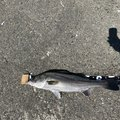 シーバッサーさんの千葉県山武郡での釣果写真