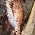 Kさんの山形県での釣果写真