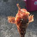 金(きん)さんの神奈川県でのキュウセンの釣果写真