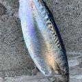 軽T INTERCEPTORさんの静岡県伊豆市での釣果写真