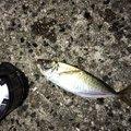 HiroKunさんの福岡県でのアジの釣果写真
