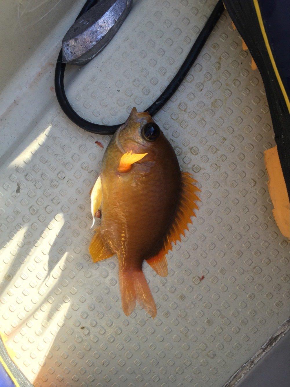 ぐんずさんの投稿画像,写っている魚はコガネスズメダイ