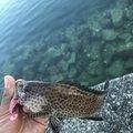 釣りたかこさんの三重県度会郡での釣果写真