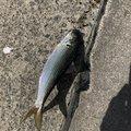 目からウロコさんの茨城県北茨城市での釣果写真