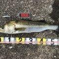 358さんの千葉県浦安市でのスズキの釣果写真