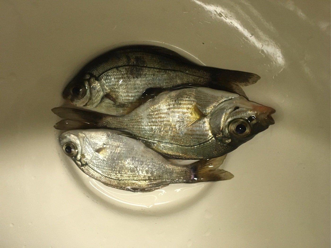 フィッシャーさんの投稿画像,写っている魚はウミタナゴ